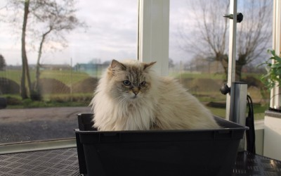 Ragdoll Dasha