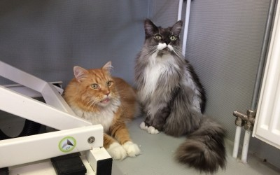 Maine Coon Phoebus Icarus